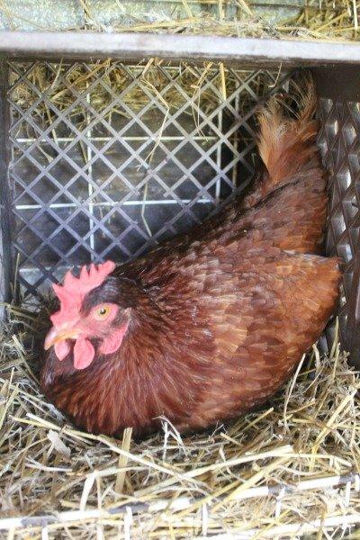farmer boy chicken